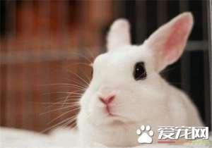 兔子吃肉吗 兔子会吃肉但不能给兔子吃